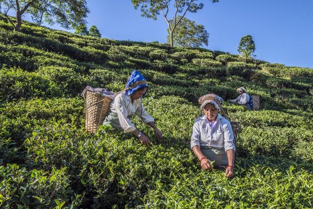 A nagy teaválság fenyeget: hiány lehet a világ legdrágább teájából
